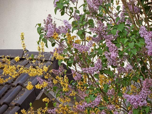 Blühende Zweige von Forsythie und Flieder