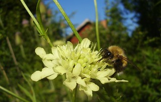 Cephalaria gigantea with a happy bumble-bee | by fotrristi