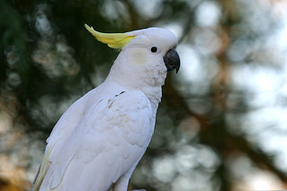 Sulphur Crested Cockatoo | by Brenda-Starr