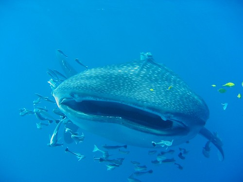 whale shark | by Olivier Roux