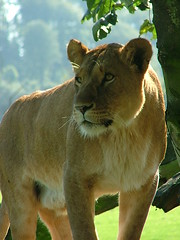Lion of Longleat | by booboo1604