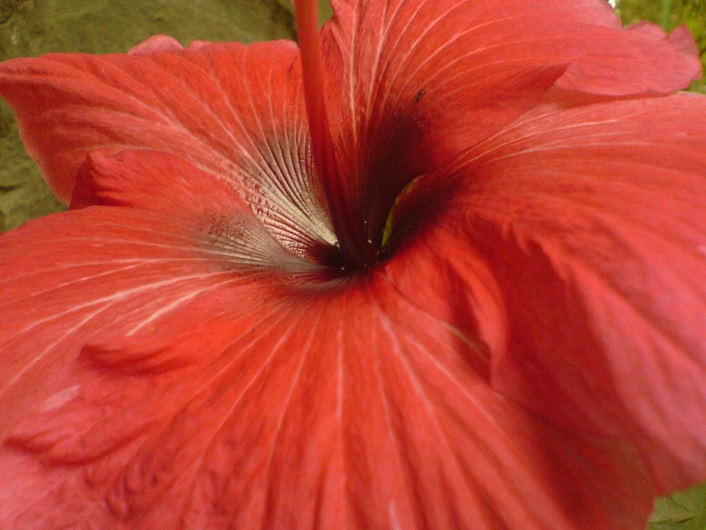 Hibiscus Malvaceae mallow family Hibiscus rosa sinensi…