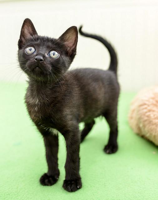 Bombón, gatita negra monísima y dulce esterilizada, nacida en Marzo´18 en adopción. Valencia. RESERVADA. 28335840458_19481f0745_z