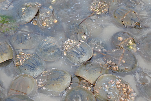 Photo of horseshoe crabs in shallow water