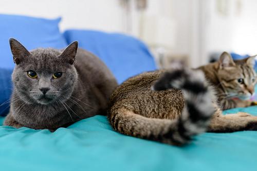 Cartujo, gato azul de ojos cobre tímido y juguetón esterilizado, nacido en Febrero´14, en adopción. Valencia. ADOPTADO. 40401426710_cce27e76b9