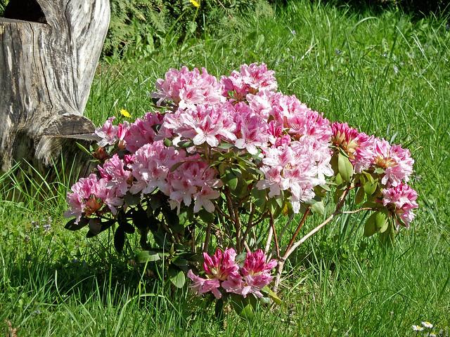 Kleiner Rhododendronstrauch voller pinkfarbener Blüten