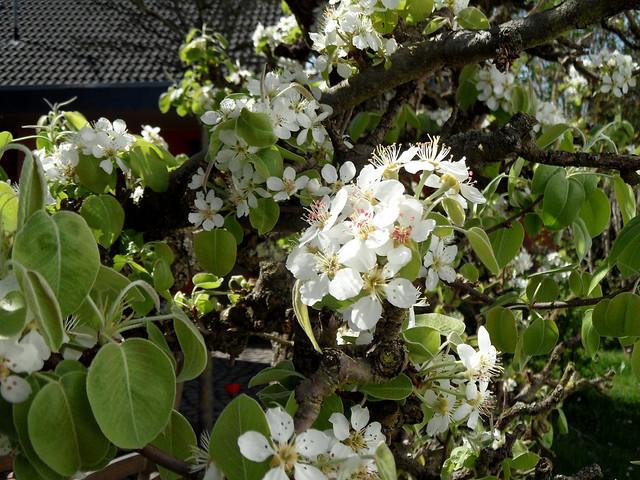 Nahaufnahme von Blüten eines Birnenbaums