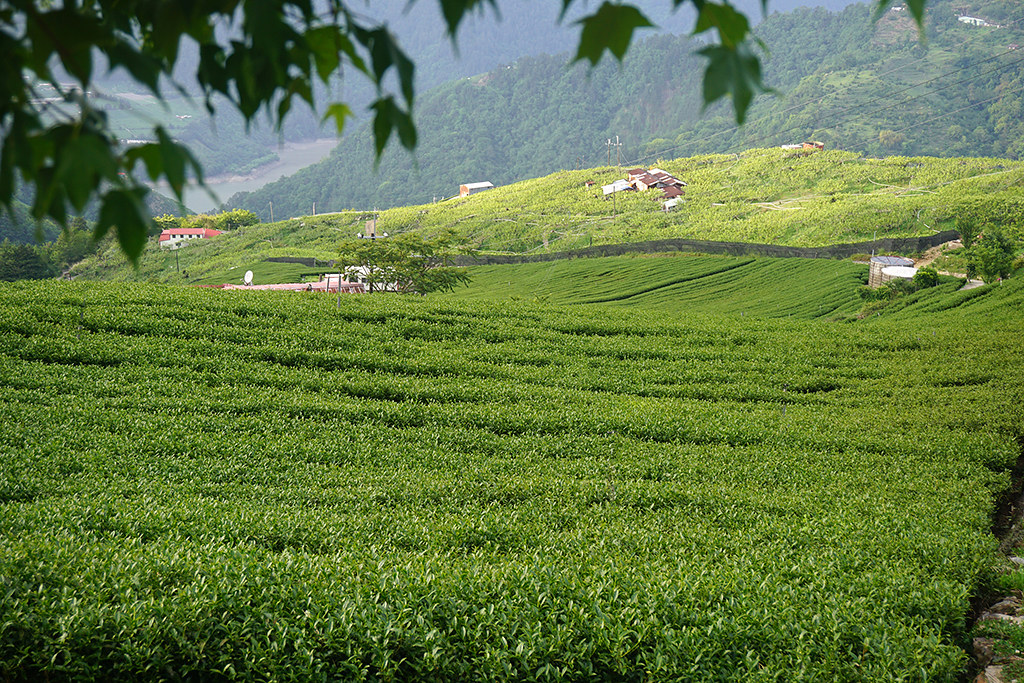 KUMY tea Plantation