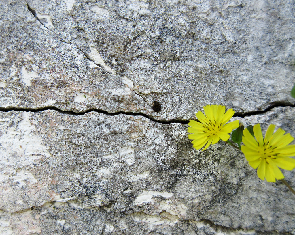 Small Yellow Flowers Growing In A Jagged Crack On A Grave Flickr