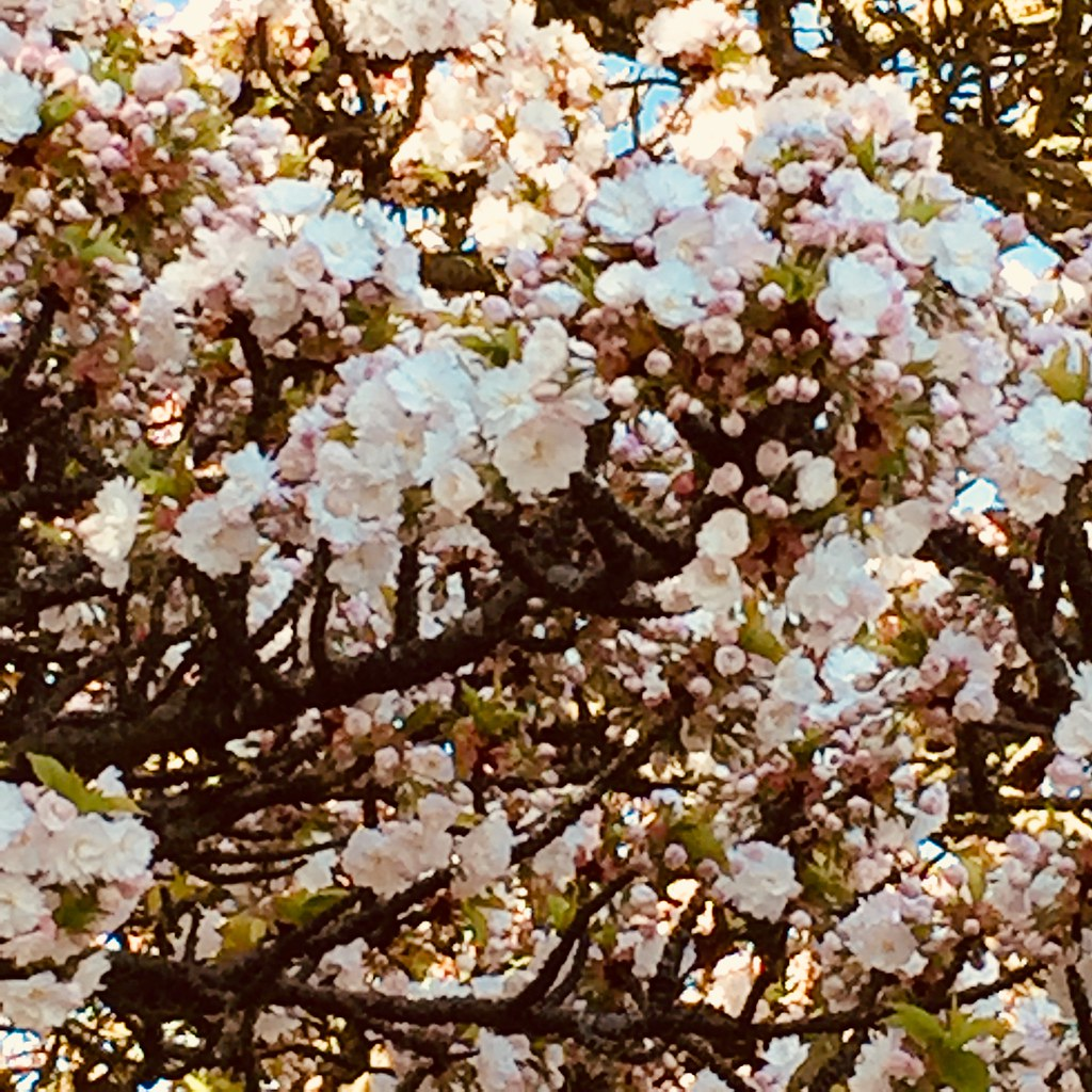 Spring flowers in england 2018 diane flickr spring flowers in england 2018 by nouveau mightylinksfo