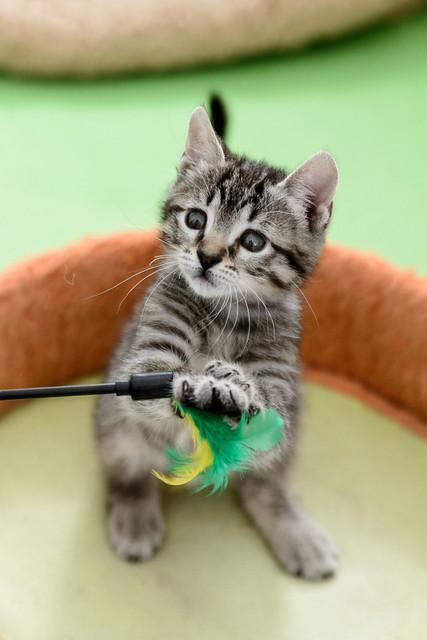 Bonnie, gatita parda monísima y muy lista esterilizada, nacida en Marzo´18, en adopción. Valencia. 42162646562_ef6dc7103c_z