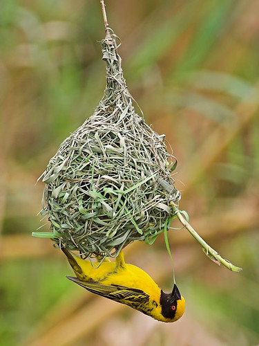 Village Weaver (Ploceus cucullatus) | by Nature Photographer