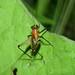 Colourful tree cricket (Phylloscirtus sp), Panama