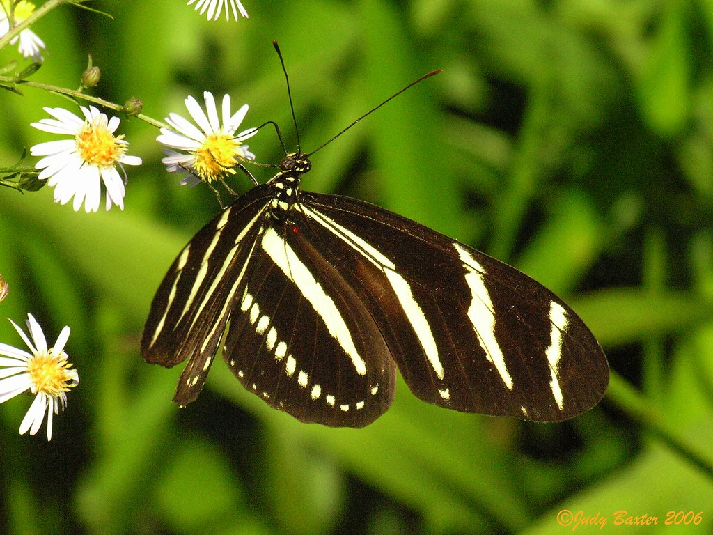 De State Jobs >> Zebra Longwing Butterfly (Florida's State Butterfly) | Flickr