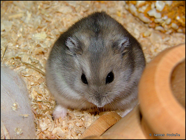 Image Result For Pet Hamster Coloring