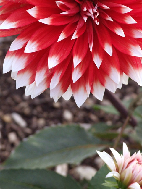 Red flower with white tips i was taken to the arboretum t flickr by eternalhours red flower with white tips by eternalhours mightylinksfo