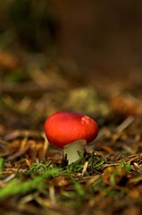 Russula Emetica | by C Thomson