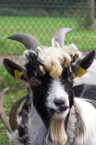 Friendly Billy Goat Jos Flickr