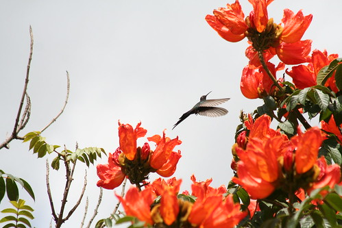 Beija-flores Tesoura e a Tulipa Africana (Spathodea campanulata) - Swallow-tailed Hummingbirds and the African Tulip Tree (Spathodea campanulata) - 4 208 | by Flávio Cruvinel Brandão