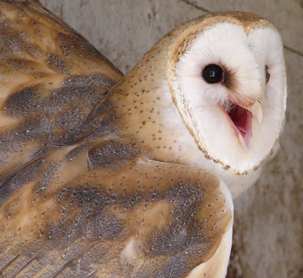 Barn Owl | I had posted a larger version of this in my ...