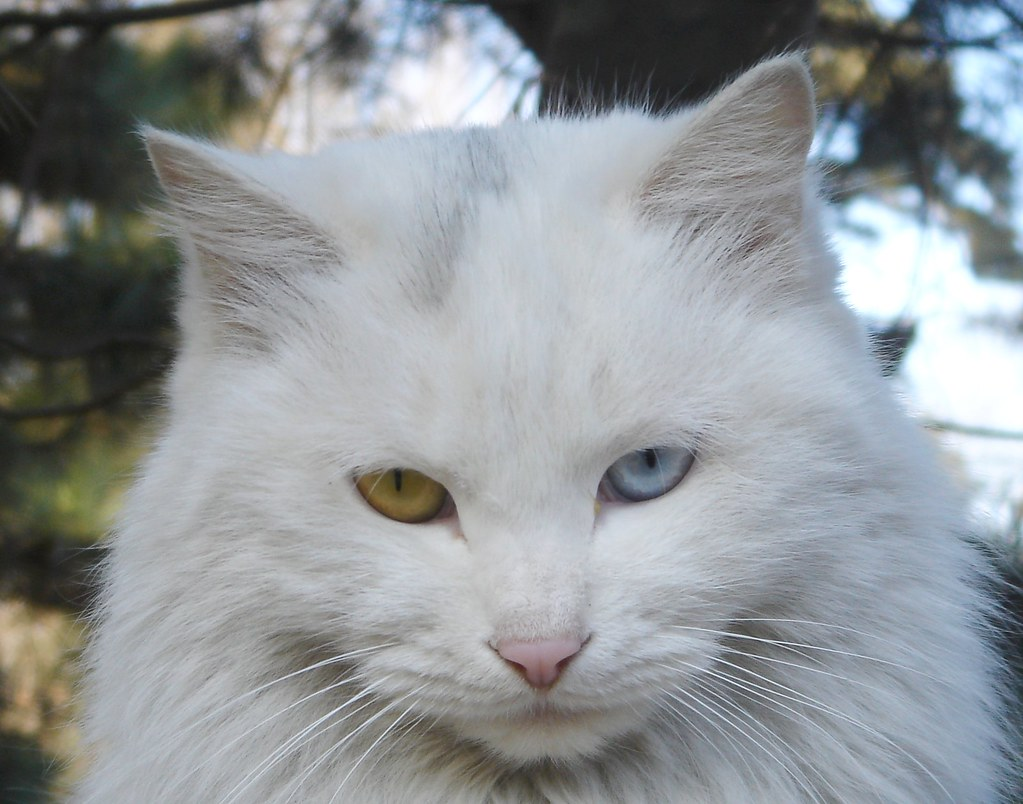Cat Aqua Eyes