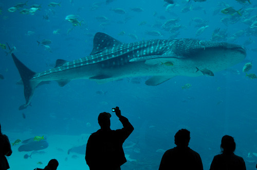 Georgia Aquarium whale shark | One of the FOUR whale ...
