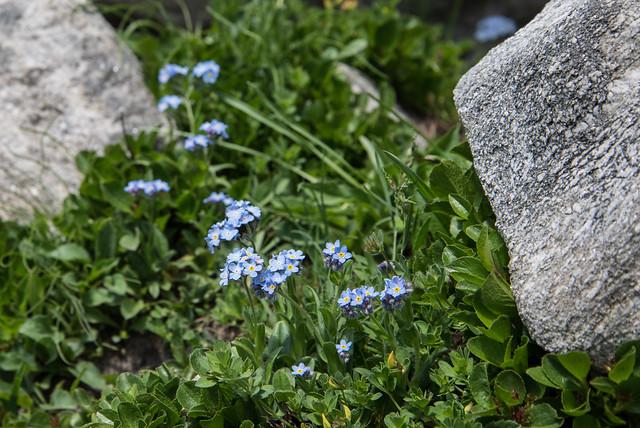 Parco Naturale dell'Alpe Veglia - Non ti scordar di me