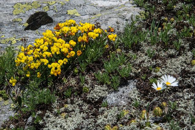 Parco Naturale dell'Alpe Veglia - Lotus corniculatus