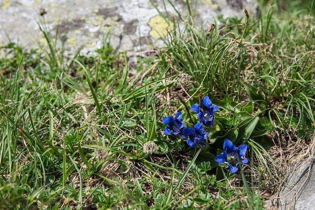 Genziane - Parco Natura dell'Alpe Veglia
