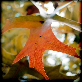 pin oak | by the kelp knot