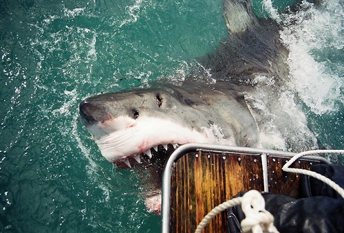 GREAT WHITE SHARK - GANSBAAI, SOUTH AFRICA 2003 | by bellamy.andrew