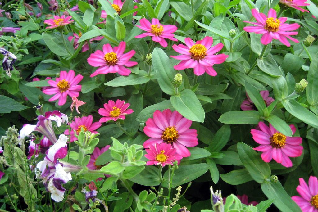 ... NYC   Queens   Flushing: Queens Botanical Gardens   Center Garden    Zinnias And Petunias