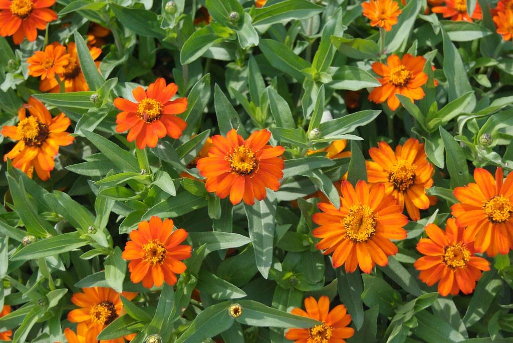 Pretty Orange Flowers Pete Markham Flickr