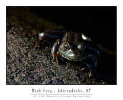 Adirondack Mink Frog | by Mountain Visions