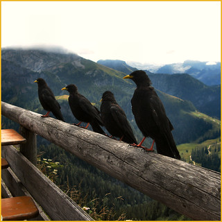 4 jackdaws longing for fried potatoes | by Frizztext