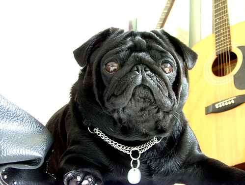 Tonka the pug | by helen$