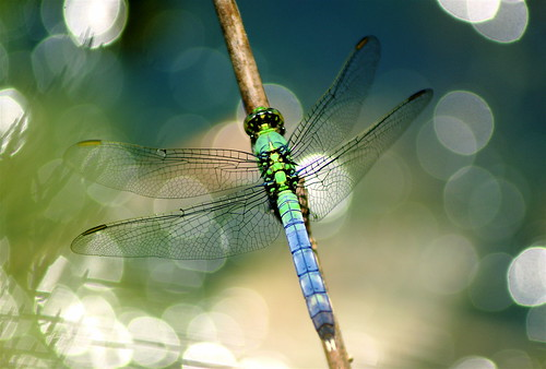 Dragonfly | by Greg Adams Photography