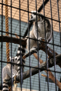 Ring Tailed Lemurs | by ktpupp