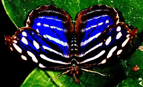 Royal Blue Butterfly | by khasan