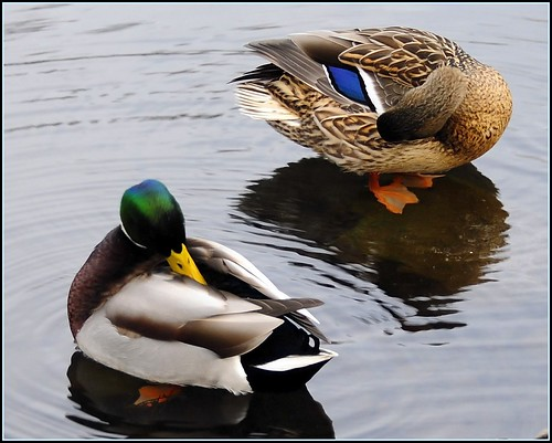 """The Mating Habits of Mallards"" (3 of 3) 