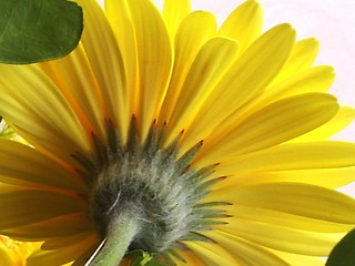 Gerbera | by LoveCats2006