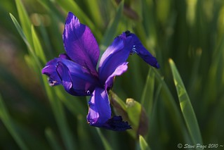 ~ Siberian Iris ~ | by iTail ~ 4 Million Views ~ Thanks to all.