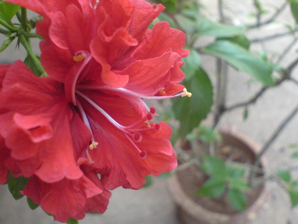 Gurhal hindi malvaceae mallow family hibiscus gurhal hindi by dinesh valke izmirmasajfo Images