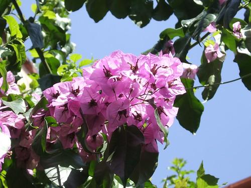 Bouganville e poi che erano a fine fioritura senn for Bouganville fioritura