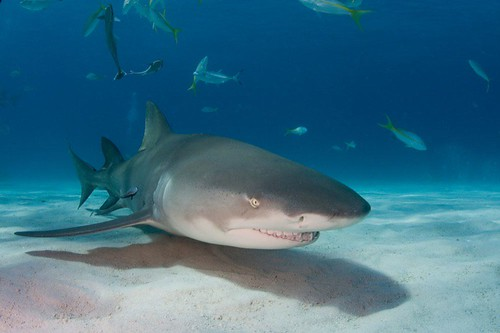 Lemon shark | by WIlly Volk