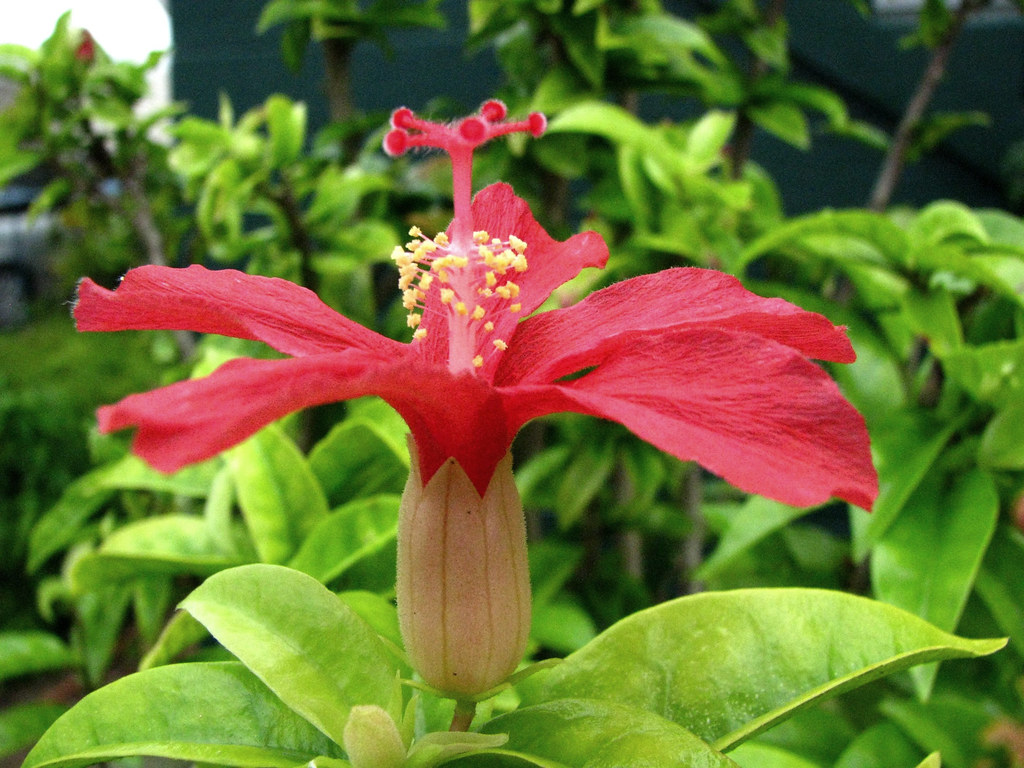 Hibiscus clayi   Kokiʻo ʻula or Clay\'s hibiscus Malvaceae (M…   Flickr