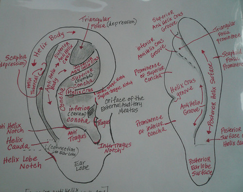 surface anatomy of the ear