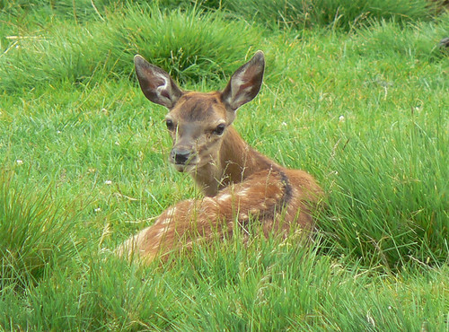 Red deer fawn | by Neil Phillips