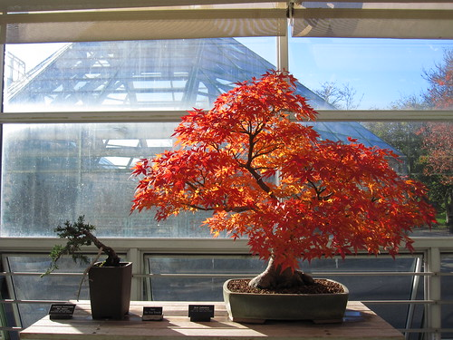 Fall Foligae in the Bonsai Museum | by Brooklyn Botanic Garden