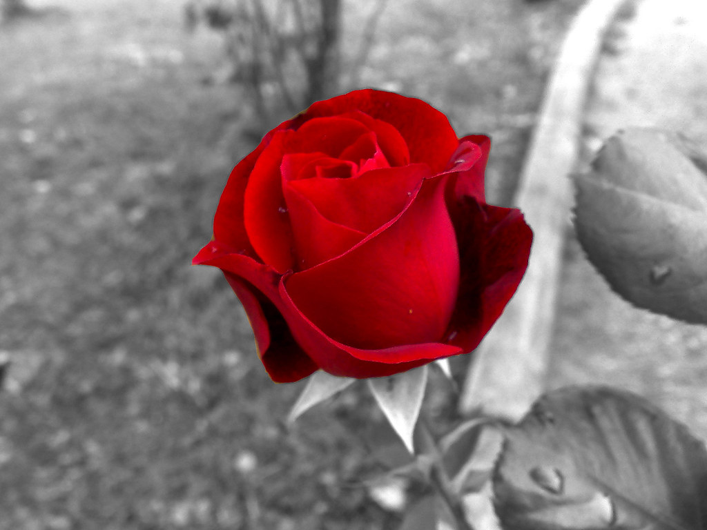 Royalty free rosa rossa sfondo bianco e nero sfondo